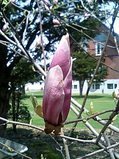 木蓮の蕾も色づいています